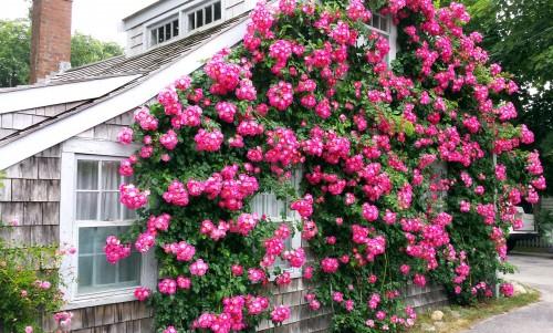 Scon_Civic_Roses_